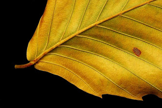 Leaf with blemish